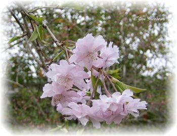 Sakura_1_20090414_2