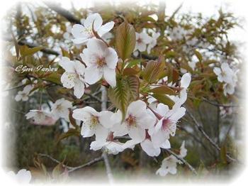 Sakura_2_20090414