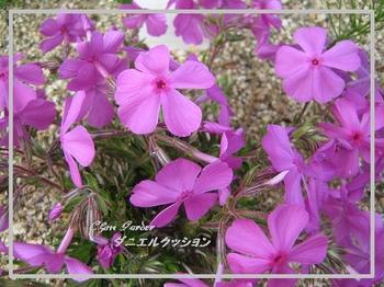 Shibazakura_1_20090415