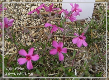 Shibazakura_6_20090415