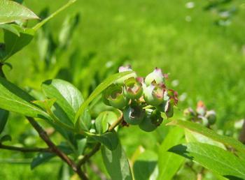 Blueberry_20090523