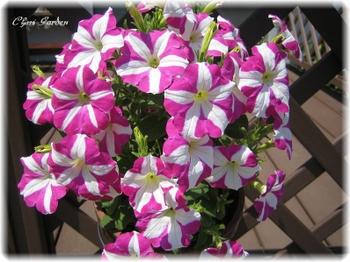 Pecyunia_20090522
