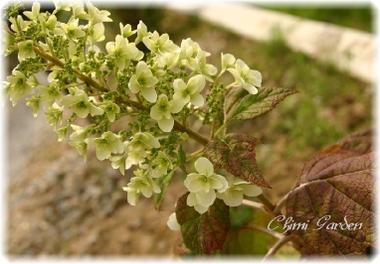 Kashiwabaajisai_20090609