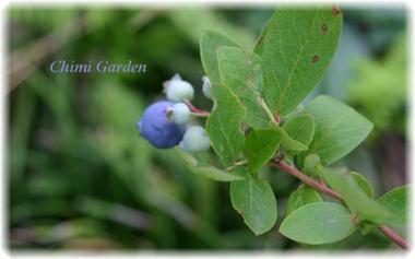 Blueberry_20090526