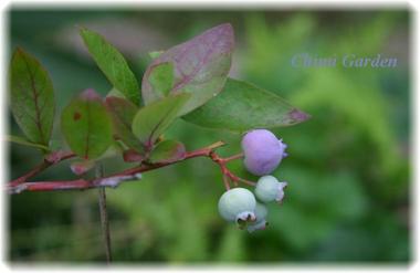 Blueberry_2_20090526