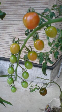初挑戦!黒トマト&ミニトマト