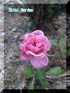 寒さに耐えるミニ薔薇
